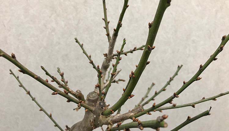 白梅 冬木 蕾