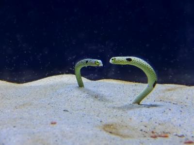 姫路市立水族館のブログ 飼育係の日々 チンアナゴ