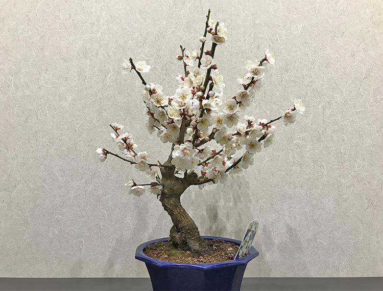 白梅盆栽 開花