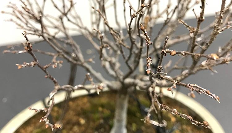 ケヤキ盆栽 新芽