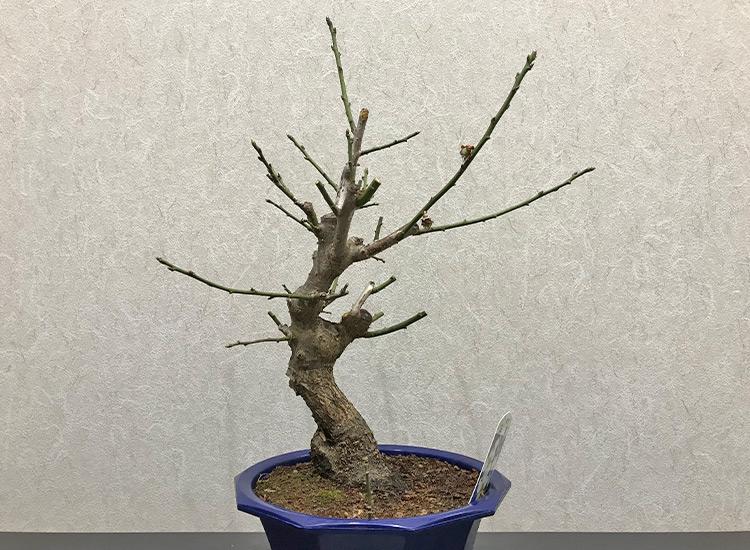 梅盆栽 追い込み剪定