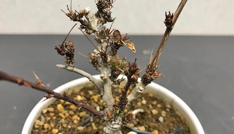 メギ盆栽 新葉