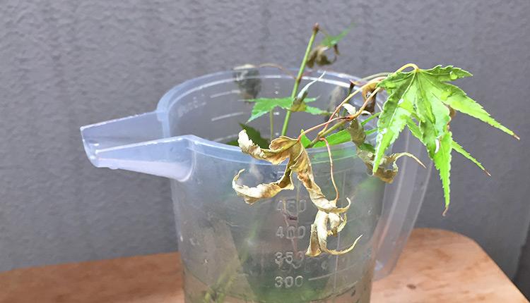 緑枝挿しモミジ 水挿し