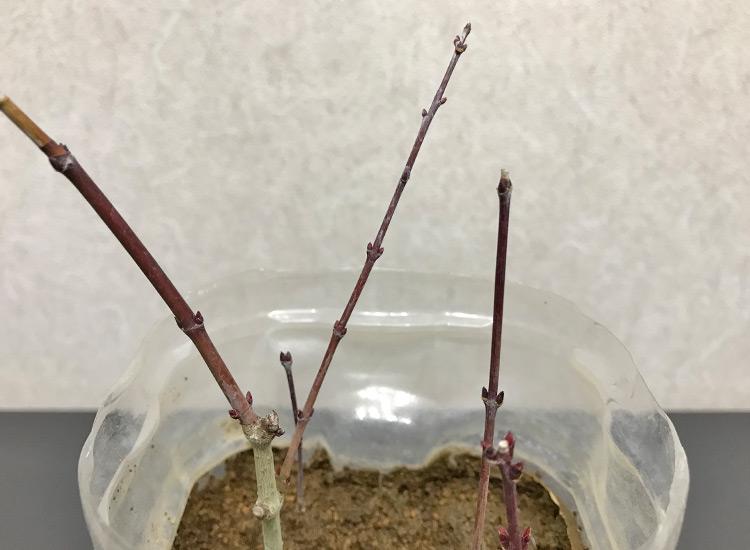 緑枝挿しモミジ 冬姿