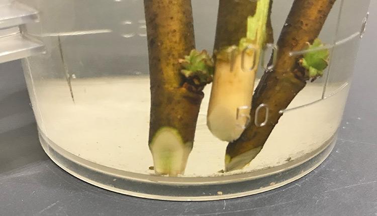 花梨 挿し穂の先端をくさび状に