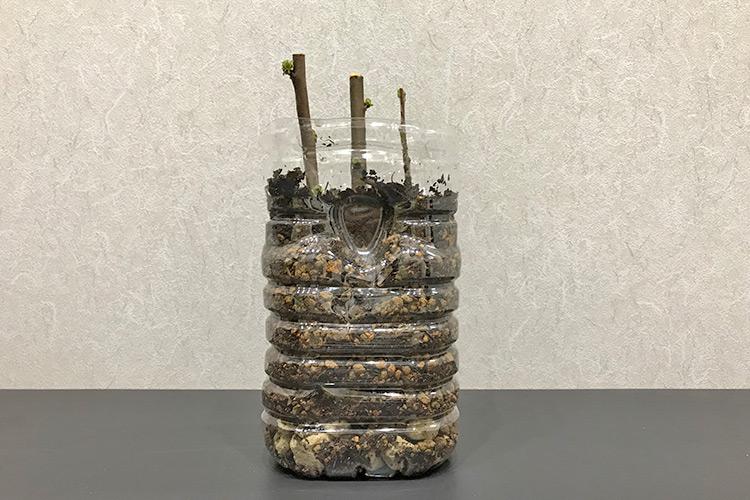 花梨の挿し木 ペットボトル鉢