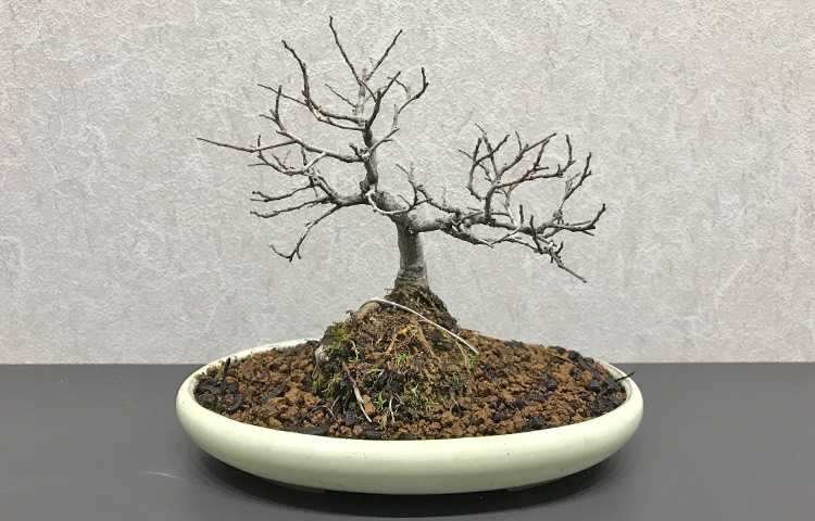 エノキ盆栽 寒樹姿
