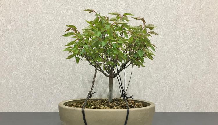 ケヤキ盆栽 葉姿 芽摘み前