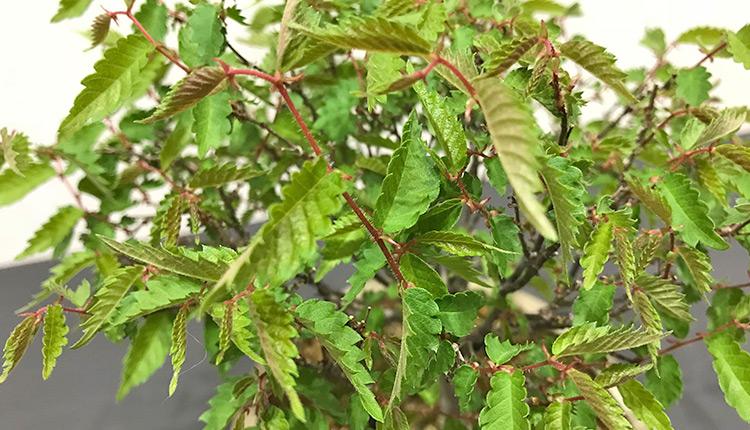 ケヤキ盆栽 徒長した緑枝