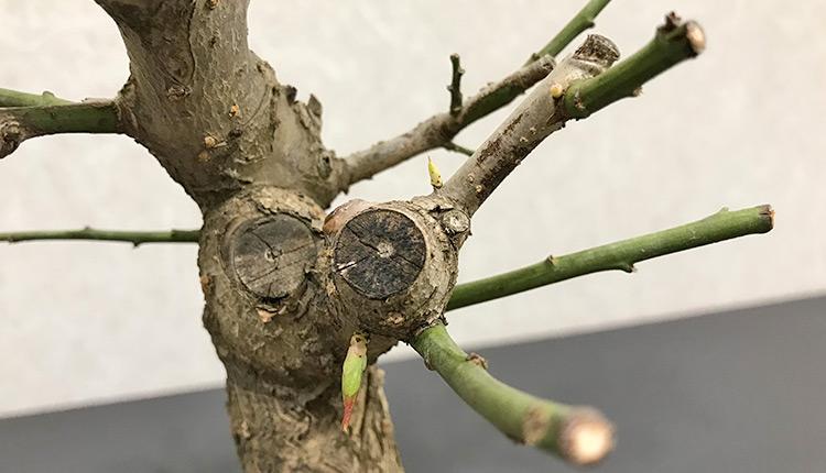 梅盆栽 剪定した枝に葉芽が出てこない