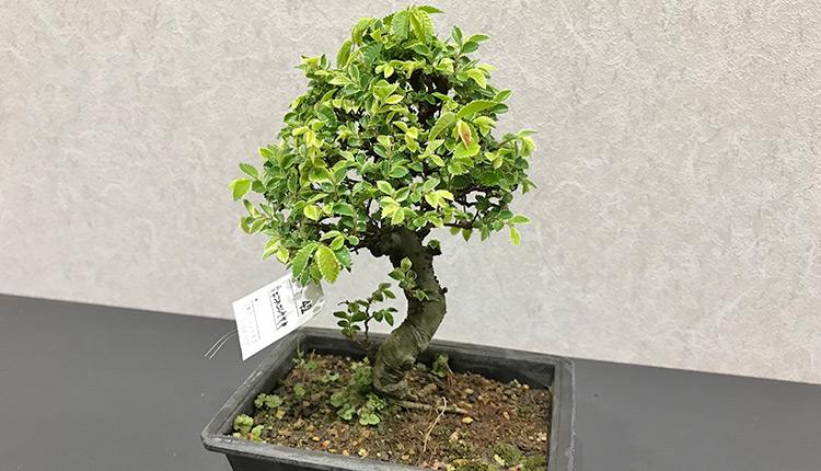 金芽楡欅(キンメニレケヤキ)盆栽