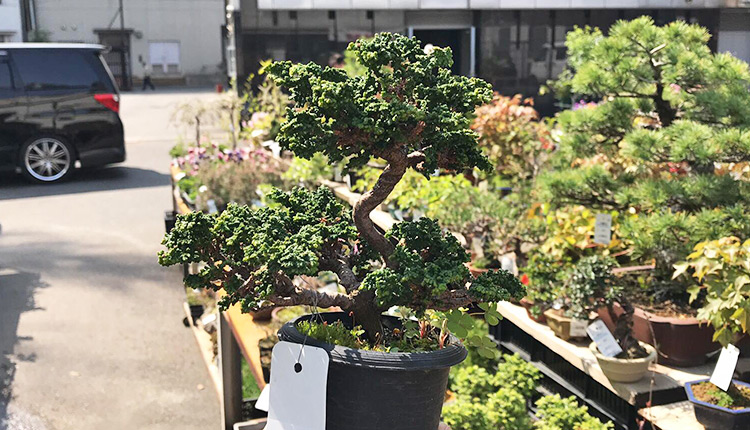 石化ヒノキ盆栽 模様木