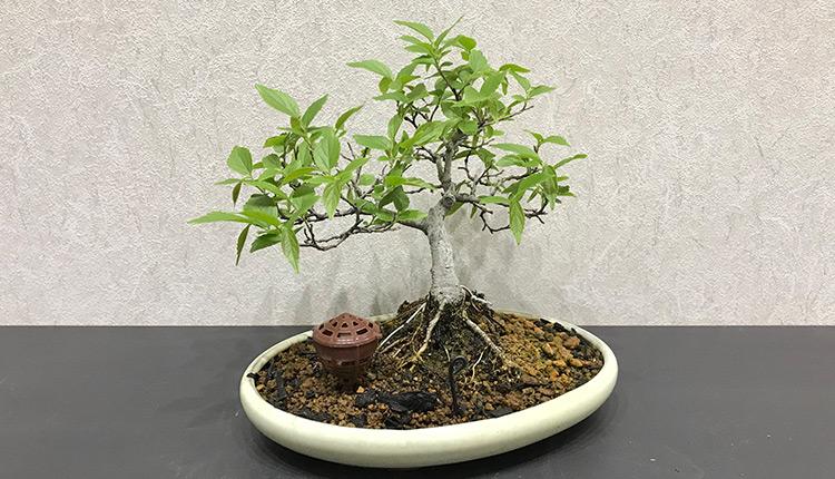 エノキ(1) 芽摘み前 葉姿