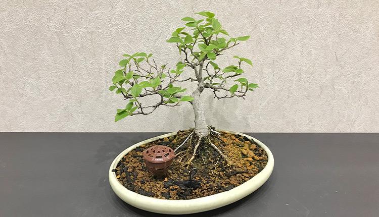エノキ(1) 芽摘み後