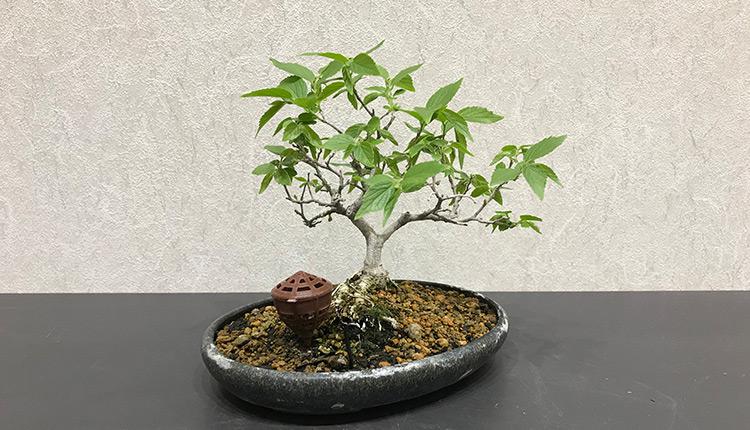エノキ(2) 芽摘み前 葉姿