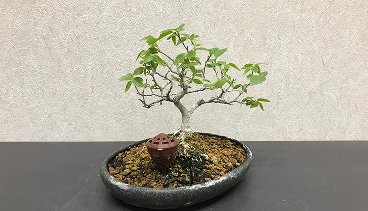 エノキ(2) 芽摘み後