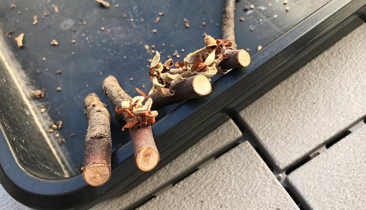 挿し木したカリンの枯死 断面