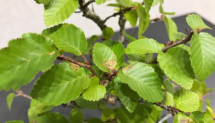 イワシデ 葉が網状に枯れている