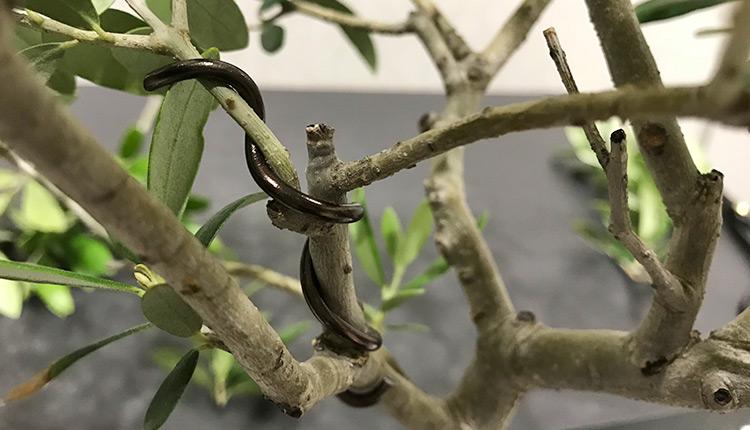 オリーブの立枝に針金