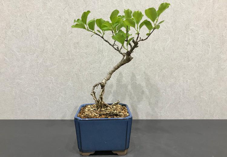 ツルウメモドキ盆栽