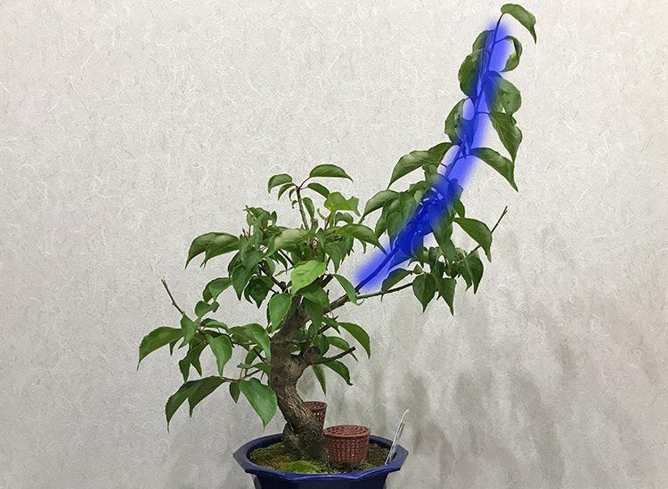 梅盆栽 緑枝剪定
