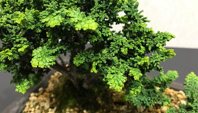 石化ヒノキ 新緑 アップ