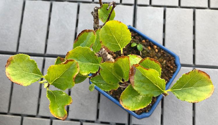 ツルウメモドキ 真夏に葉先が茶色く枯れる