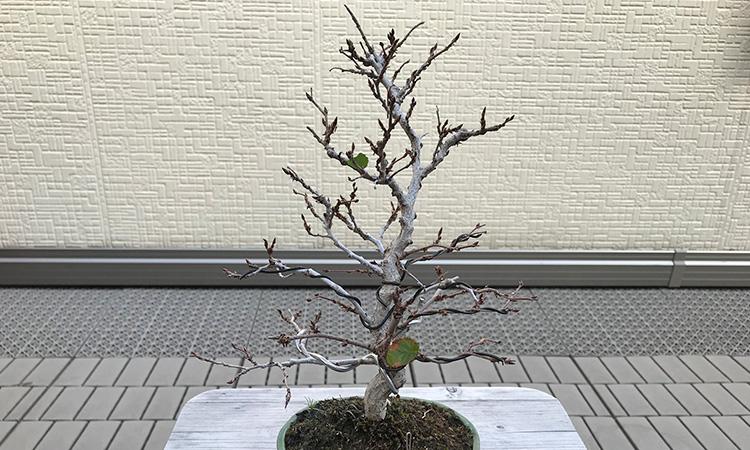 イワシデ盆栽 薬害 落葉