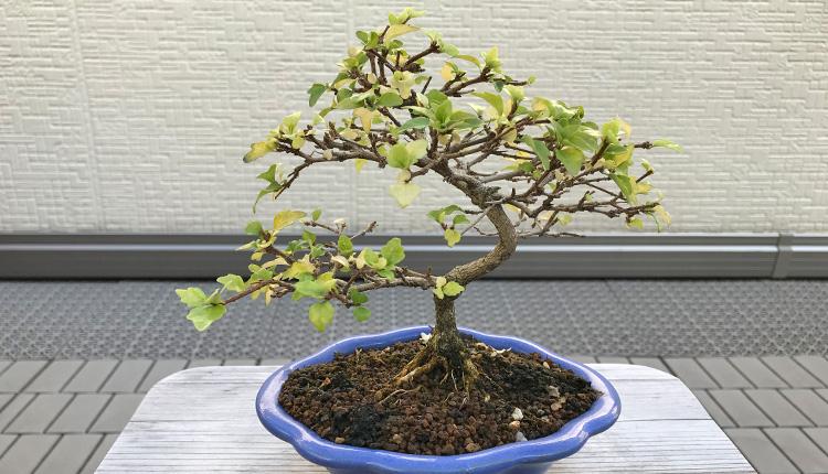 ニオイカエデ盆栽 一部落葉