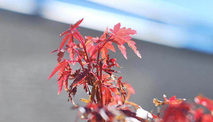 山もみじ盆栽 頭頂部が一番綺麗に紅葉