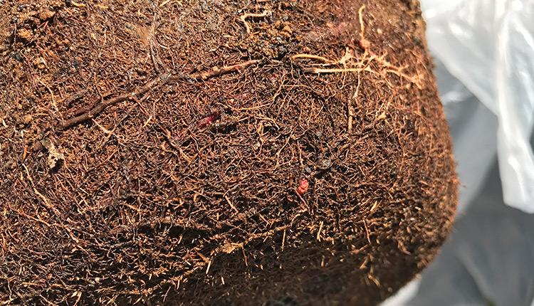 梅の根に小さなコブ、、がんしゅ病?