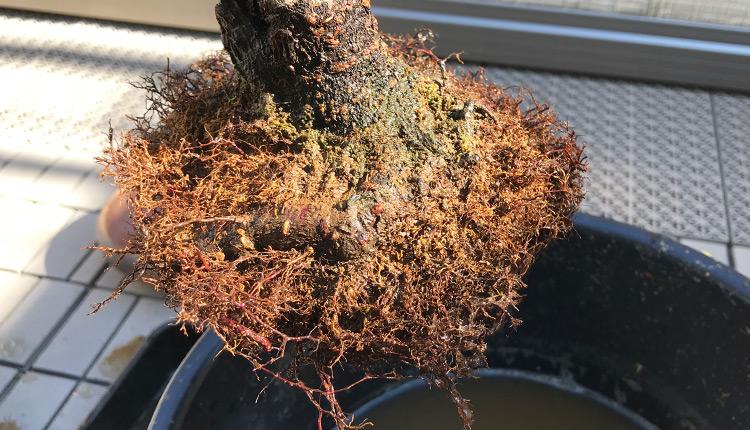 梅 植え替え 根を洗いながらほぐしてカット