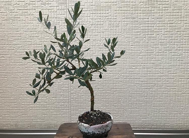 オリーブ「ルッカ」盆栽 植え替え