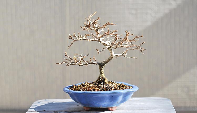 ニオイカエデ盆栽 寒樹姿
