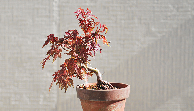 山もみじ盆栽の紅葉