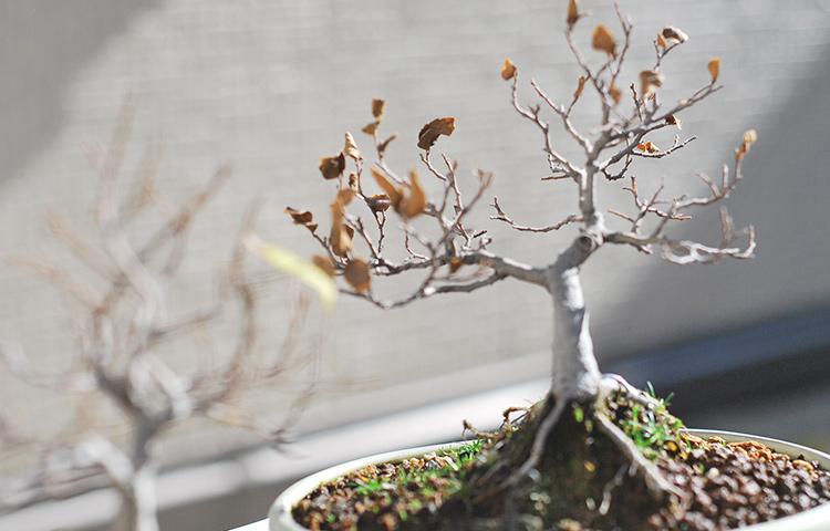 榎盆栽 寒樹姿?枯死?