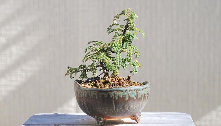 イソザンショウ盆栽