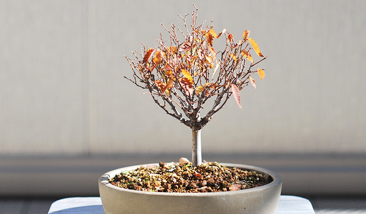 ケヤキ盆栽 落葉と紅葉