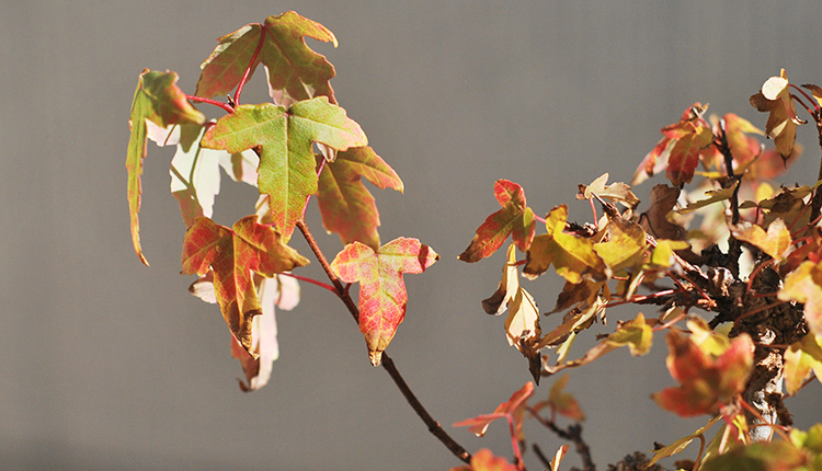 唐楓盆栽 紅葉