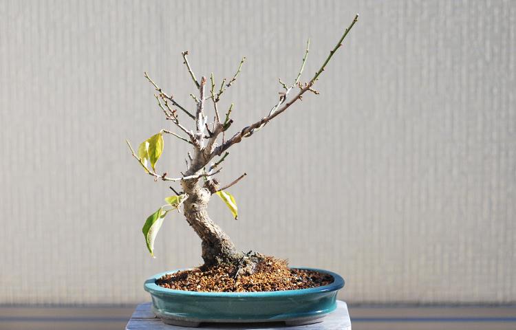 白梅盆栽 寒樹姿