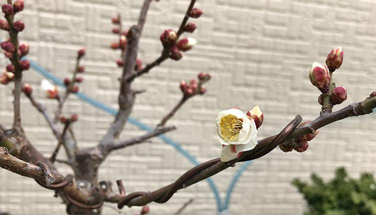一重白梅 開花開始