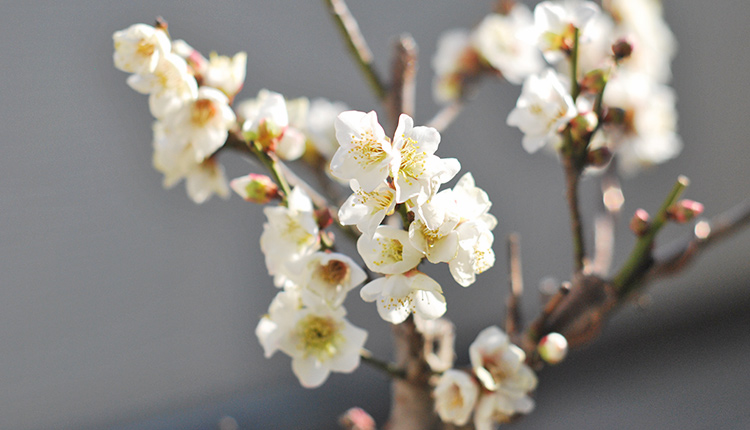 一重咲 白梅 五分咲き