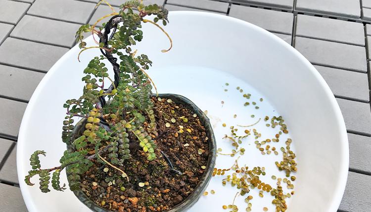 磯山椒の黄葉?落葉
