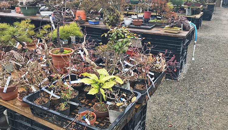 やよい園 盆栽素材