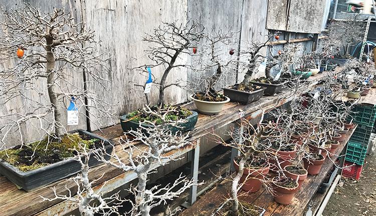 沢山の老鴉柿