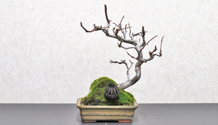 ズミ盆栽 寒樹姿