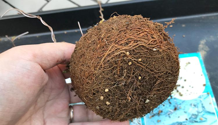 挿し穂21ヶ月のケヤキ 植え替え