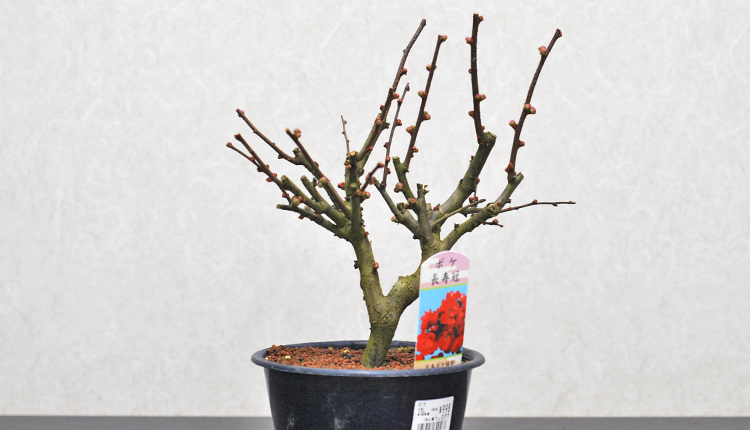 ボケ 長寿冠(チョウジュカン)盆栽