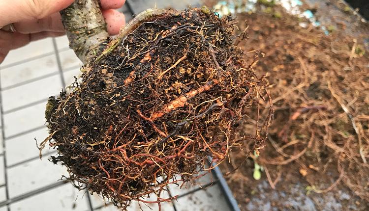 ヤマナシ盆栽 根捌き