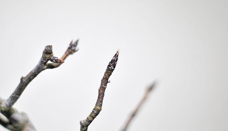 ヤマナシ盆栽 新芽